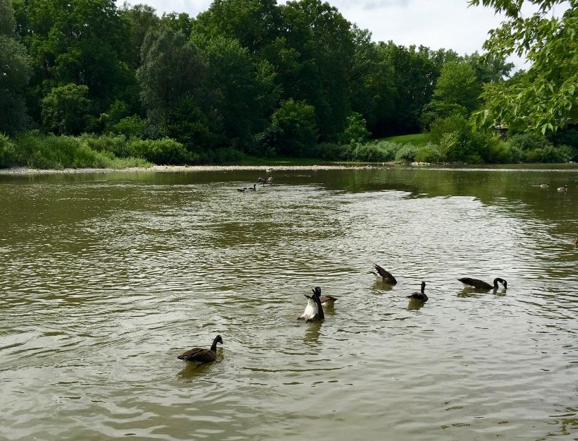 gaggle of geese in lake